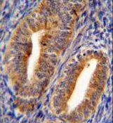 DPP3 Antibody (PA5-35038) in Immunohistochemistry (Paraffin)