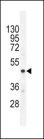 Chromogranin A Antibody (PA5-35071) in Western Blot