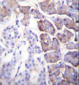 Carboxypeptidase B1 Antibody (PA5-35093) in Immunohistochemistry (Paraffin)