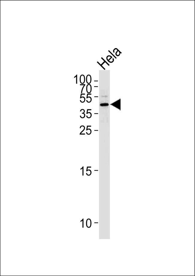 Maspin Antibody (PA5-35104) in Western Blot
