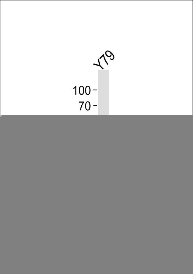 SIX3 Antibody (PA5-35166)