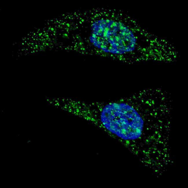 ATG5 Antibody (PA5-35201) in Immunofluorescence