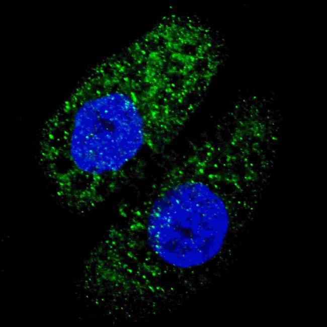 ATG5 Antibody (PA5-35202)