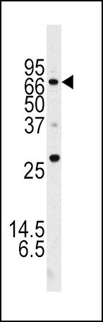 ATG16L1 Antibody (PA5-35207) in Western Blot