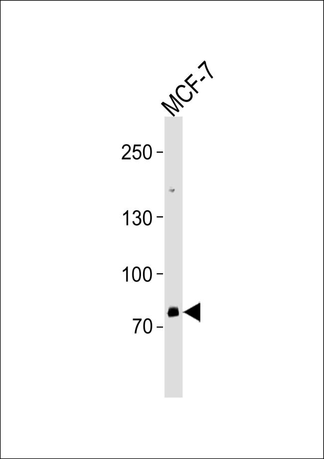 ZNF483 Antibody (PA5-35212) in Western Blot