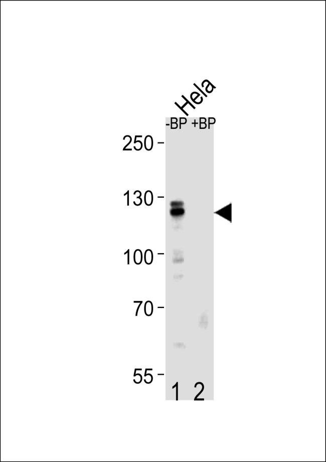 Cullin 4B Antibody (PA5-35239)