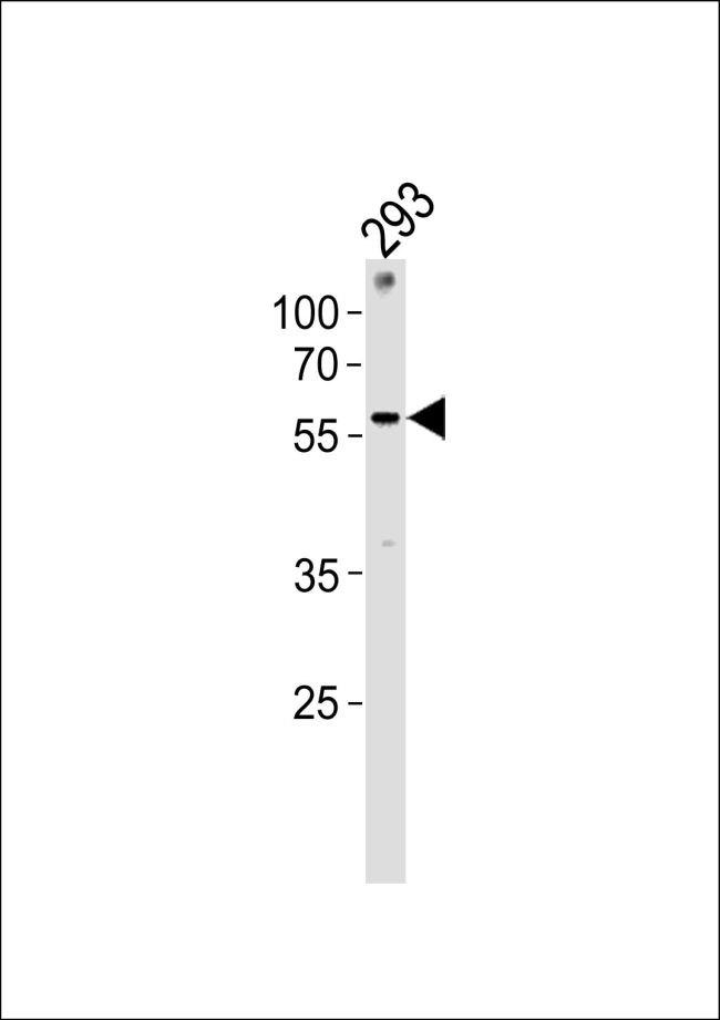ZNF76 Antibody (PA5-35269) in Western Blot