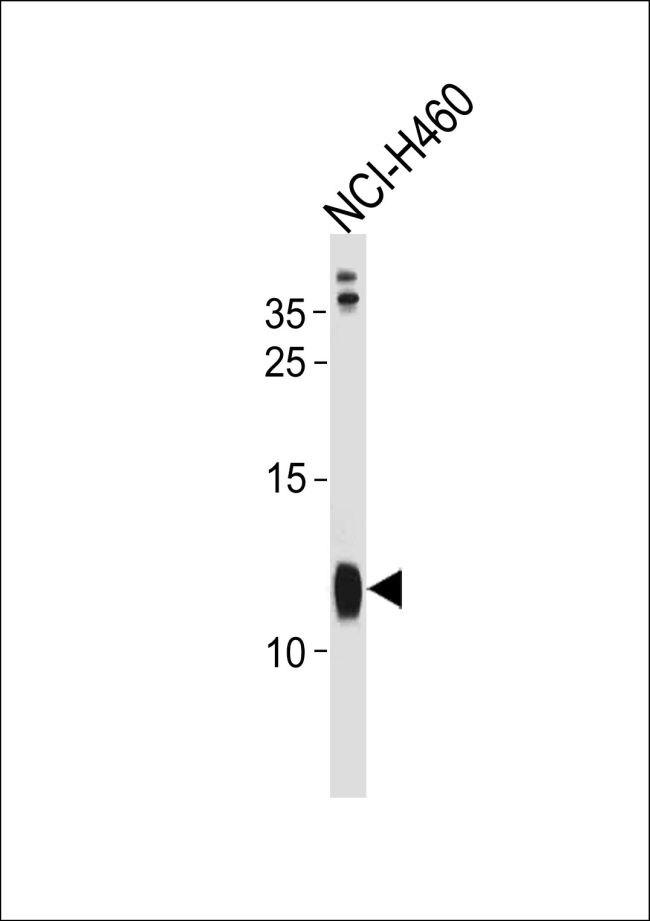 RPS21 Antibody (PA5-35271) in Western Blot