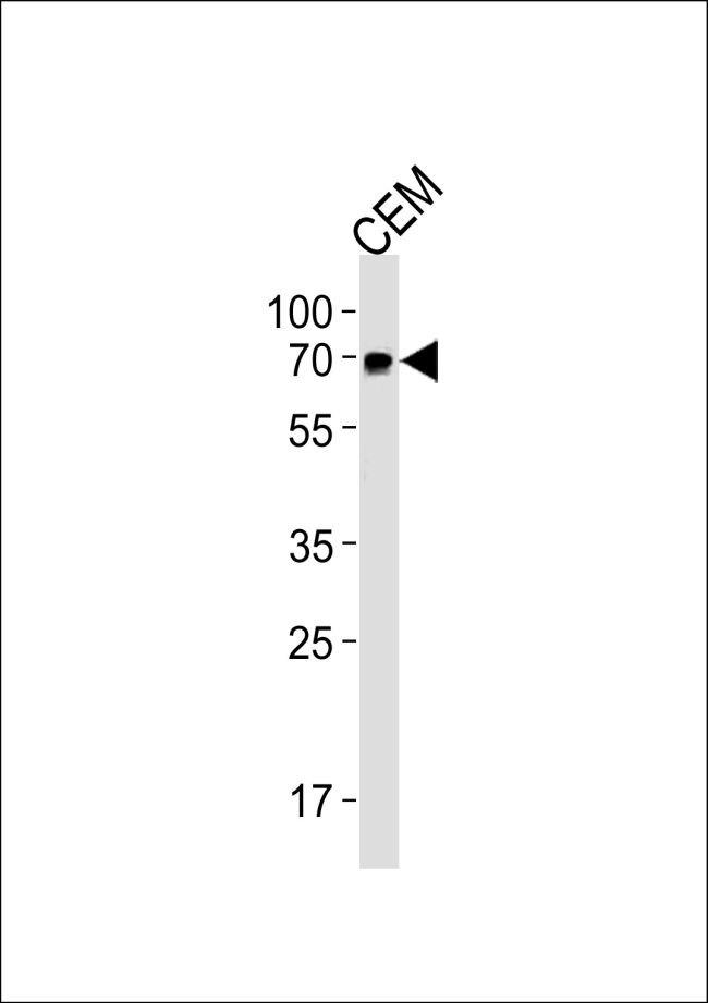 GBP2 Antibody (PA5-35285)