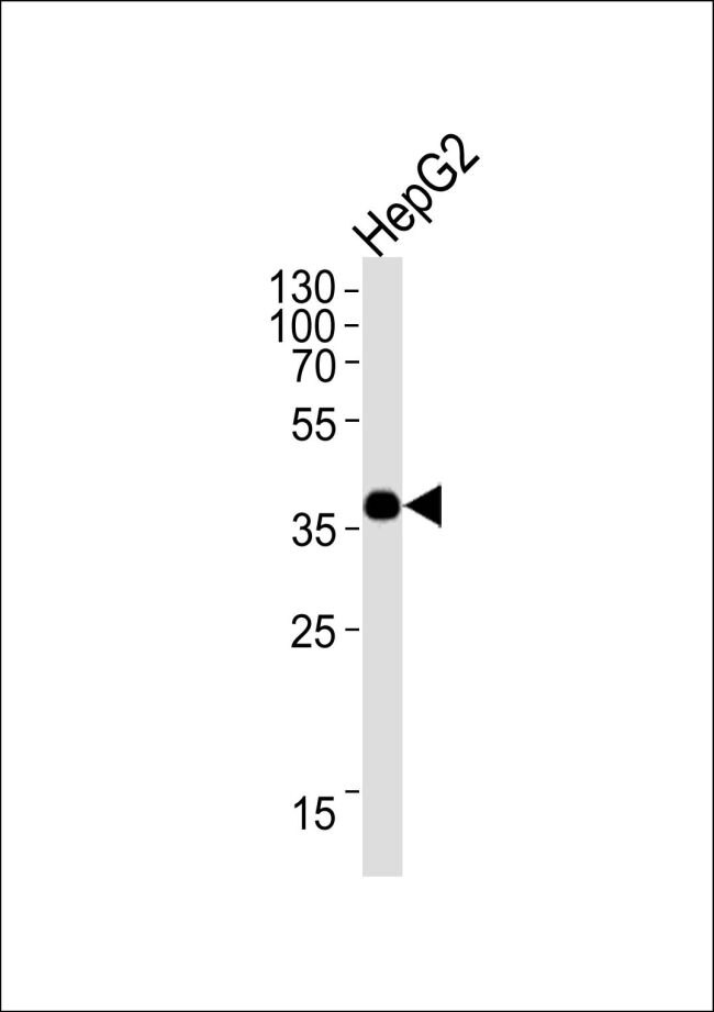 OR1L3 Antibody (PA5-35299) in Western Blot