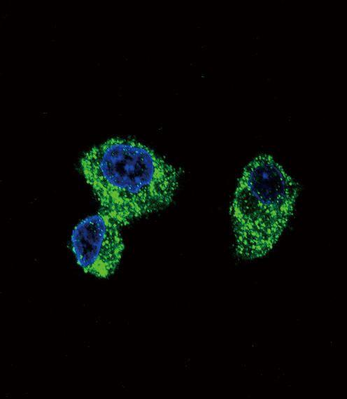 PIGR Antibody (PA5-35340)