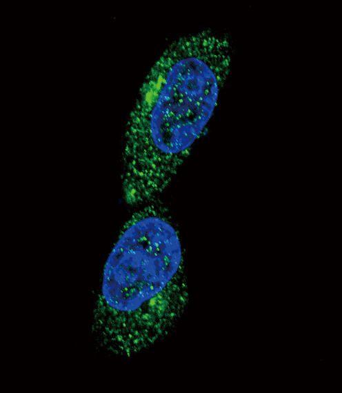 MICA Antibody (PA5-35346)