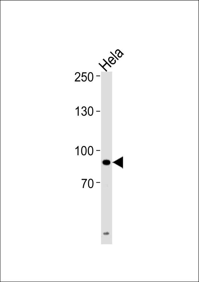 UHRF1 Antibody (PA5-35367) in Western Blot
