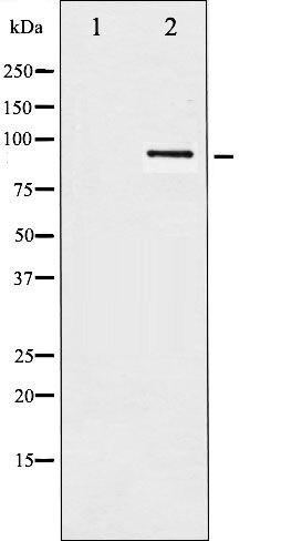 Phospho-HSP90B pSer254 Antibody (PA5-35453)