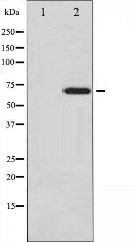Phospho-Ezrin pTyr478 Antibody (PA5-35460)