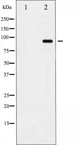 Phospho-CD156b / ADAM17 pThr735 Antibody (PA5-35619)