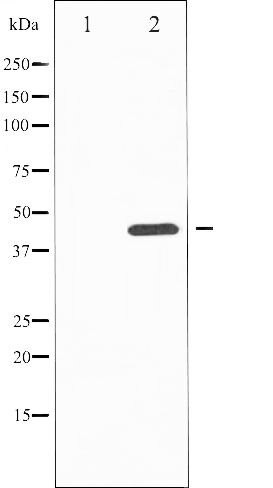 Phospho-JNK1 / MAPK8 pTyr185 Antibody (PA5-35642)