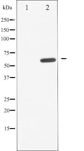 Phospho-Cdc25A pSer178 Antibody (PA5-35682)