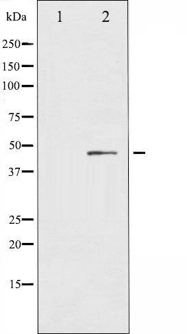 Phospho-IL-8R beta / CXCR2 pSer347 Antibody (PA5-35693)