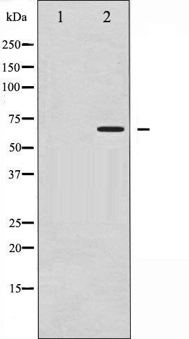 Phospho-CD19 pTyr531 Antibody (PA5-35735)
