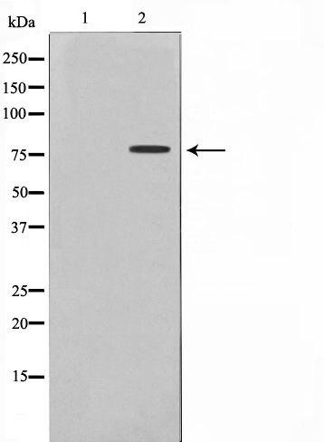 Phospho-Tau pSer235 Antibody (PA5-35761)