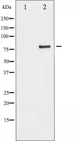Phospho-SP1 pThr739 Antibody (PA5-35770)