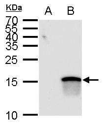 ATOH7 Antibody (PA5-35859) in Western Blot