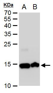 Histone H2A Antibody (PA5-35893) in Western Blot