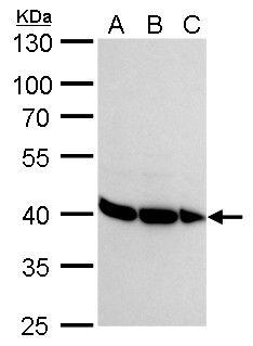 hnRNP DL Antibody (PA5-35896) in Western Blot