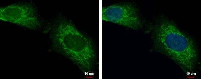 LONRF2 Antibody (PA5-35914)