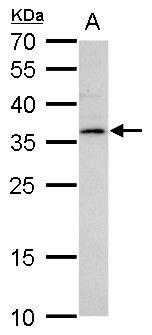LYL1 Antibody (PA5-35916)