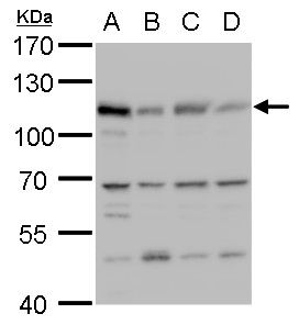 MCM6 Antibody (PA5-35923) in Western Blot