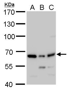 PSPC1 Antibody (PA5-35958) in Western Blot