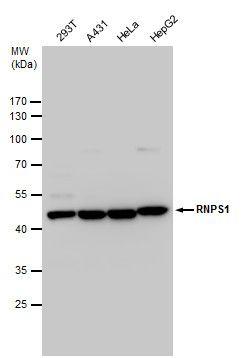 RNPS1 Antibody (PA5-35967)