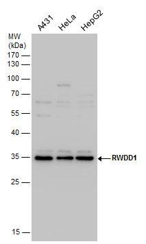 Rwdd1 Antibody (PA5-35970) in Western Blot