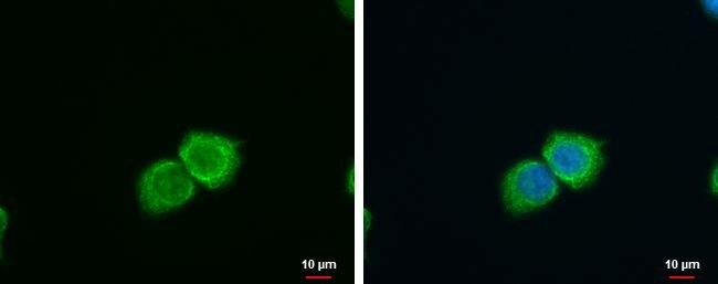 SFXN4 Antibody (PA5-35980) in Immunofluorescence