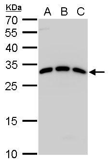 SPIC Antibody (PA5-35987) in Western Blot