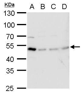 TIPIN Antibody (PA5-35995)