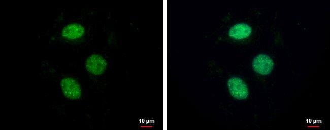 ZNF599 Antibody (PA5-36015) in Immunofluorescence