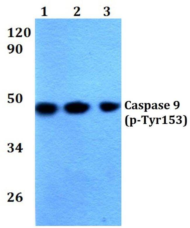 Phospho-Caspase 9 (Tyr153) Antibody (PA5-36020) in Western Blot