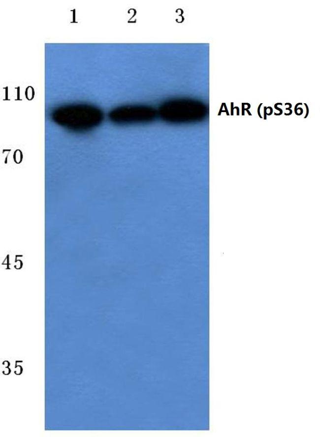Phospho-AHR (Ser36) Antibody (PA5-36025)