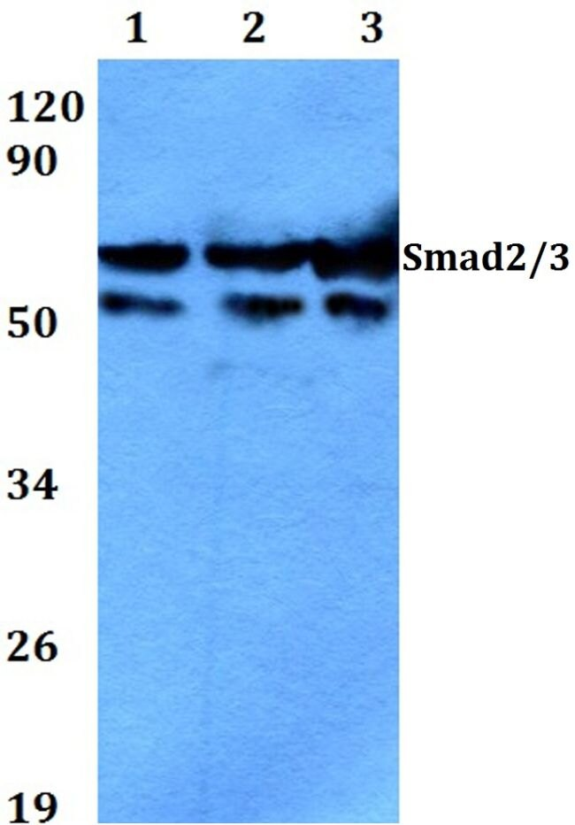 SMAD2/SMAD3 Antibody (PA5-36037) in Western Blot