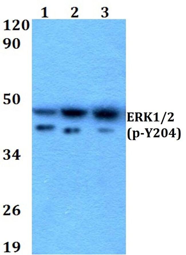 Phospho-ERK1/ERK2 (Tyr204) Antibody (PA5-36038) in Western Blot