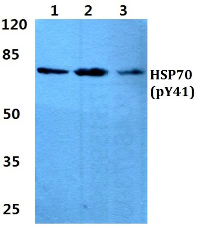 Phospho-HSP70 (Tyr41) Antibody (PA5-36042) in Western Blot