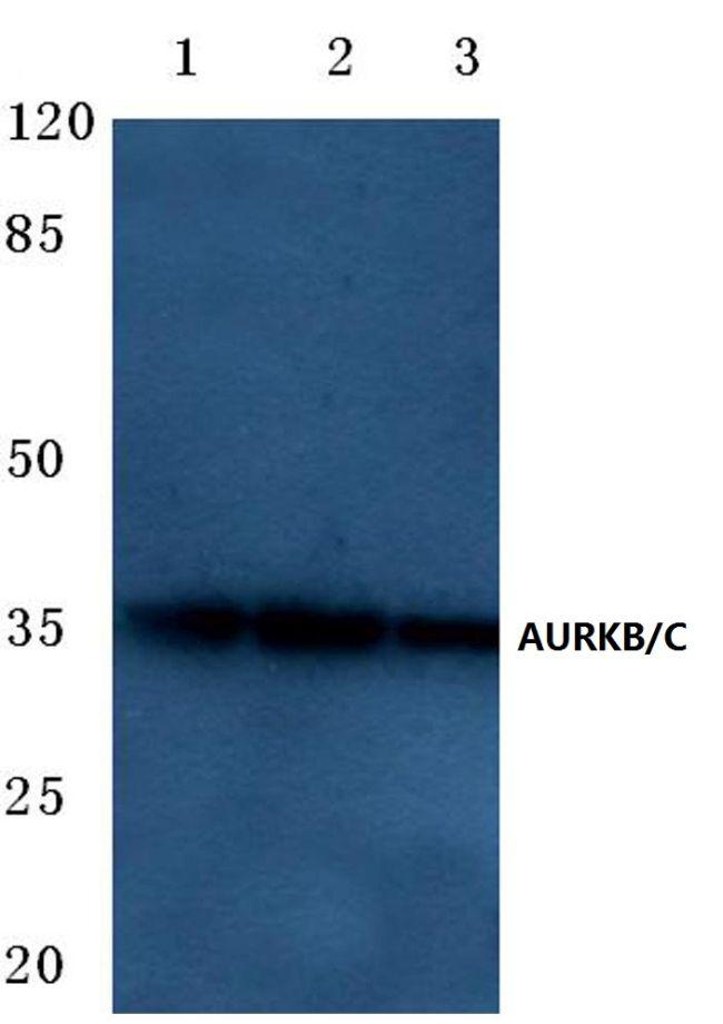 Aurora B/C Antibody (PA5-36126) in Western Blot