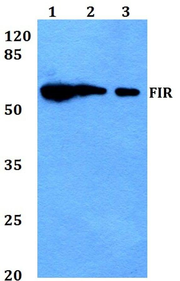 FIR Antibody (PA5-36136) in Western Blot