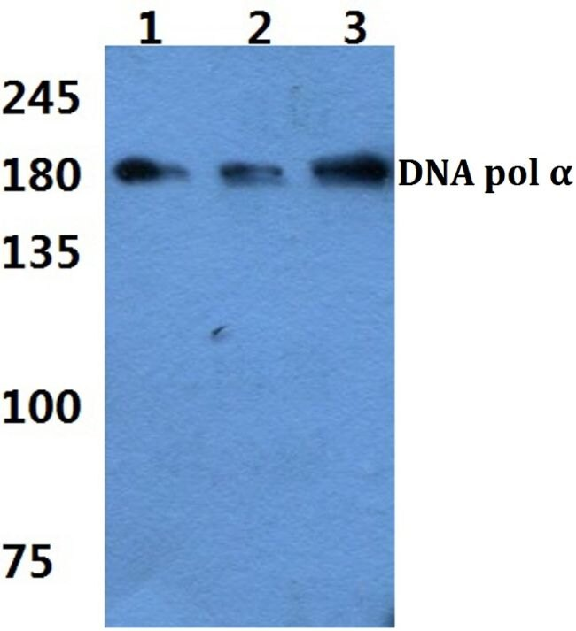 POLA1 Antibody (PA5-36147) in Western Blot