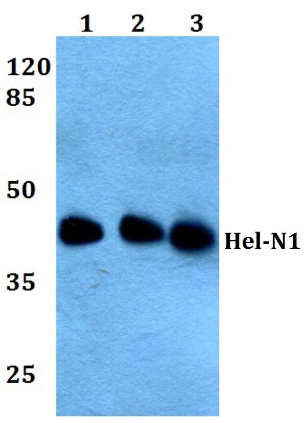 ELAVL2 Antibody (PA5-36157) in Western Blot