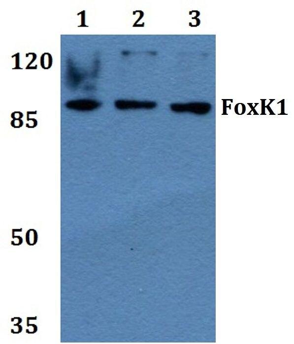 FOXK1 Antibody (PA5-36257) in Western Blot