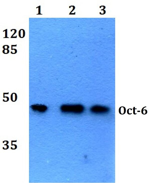 OCT6 Antibody (PA5-36258) in Western Blot